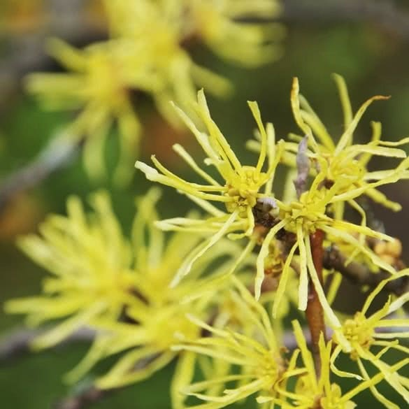 The Potter's Distilled Witch Hazel Difference